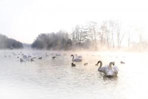 cygnes-loire-matin-brume-ludovicletot