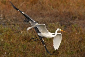 heron-aigrette-vol-loire-ludovicletot