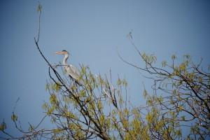 heron-cendre-percher-loire-ludovicletot
