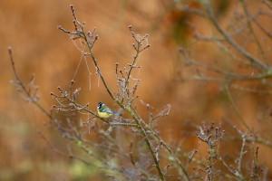 oiseau-mesange-bleue-toile-araignee-gel-sologne-ludovicletot