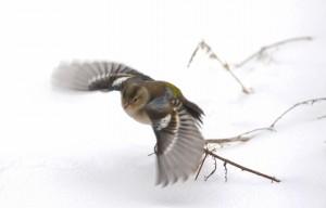 oiseau-vol-neige-sologne-ludovicletot