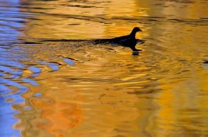 poule-d-eau-loire-reflet-ludovicletot