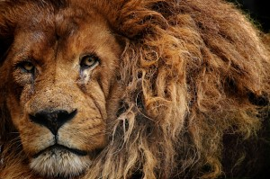 lion-zoo-de-beauval-ludovic-letot