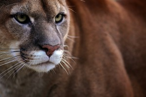 zoo-de-beauval-cougar-ludovic-letot