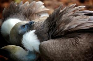zoo-de-beauval-vautour-ludovic-letot