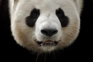 zoo-de-beauval-panda-ludovicletot
